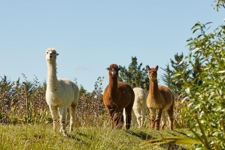 Misty River Retreat Llamas - places to stay in Blenheim